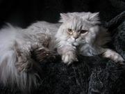 Вязка британских кошек Питомник британских кошек #sunnybunny.by #sb