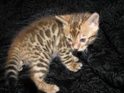 Бенгальские котята Питомник бенгальских кошек  #sunnybunny.by #sb