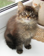 британский  длинношерстные котята