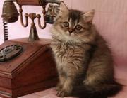 британские короткошерстные и длинношерстные (хайленд) котята