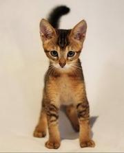 Чаузи(нильская кошка) Питомник абиссинских бенгальских британских кошек #sunnybunny.by #sb